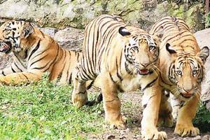 Supreme Court Extends Ban On Tourism In Core Areas Of Tiger Reserves