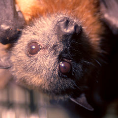 Worldwide Virus Alert: Stay Away From Bats Now